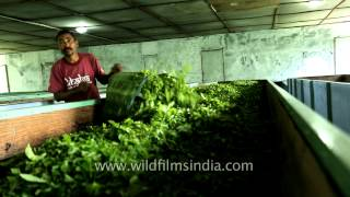 Workers spreading tea leaves in withering troughs for drying: Darjeeling