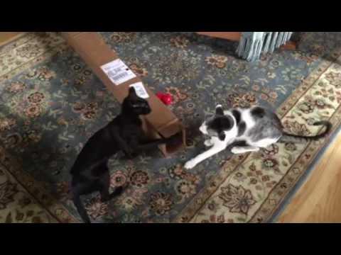 Oriental Cats