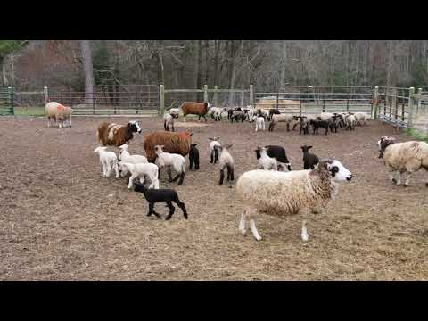 Lambs being lambs prior to morning turnout to pasture