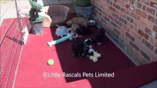 Little Rascals Uk Breeders New Litter Of Malshi Puppies