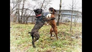 Кане корсо VS Боксёр