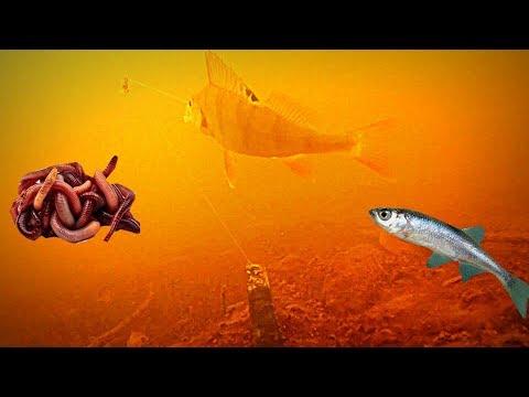 ДЕНДРОБЕНА или ЖИВЕЦ осенью!?Подводная съемка