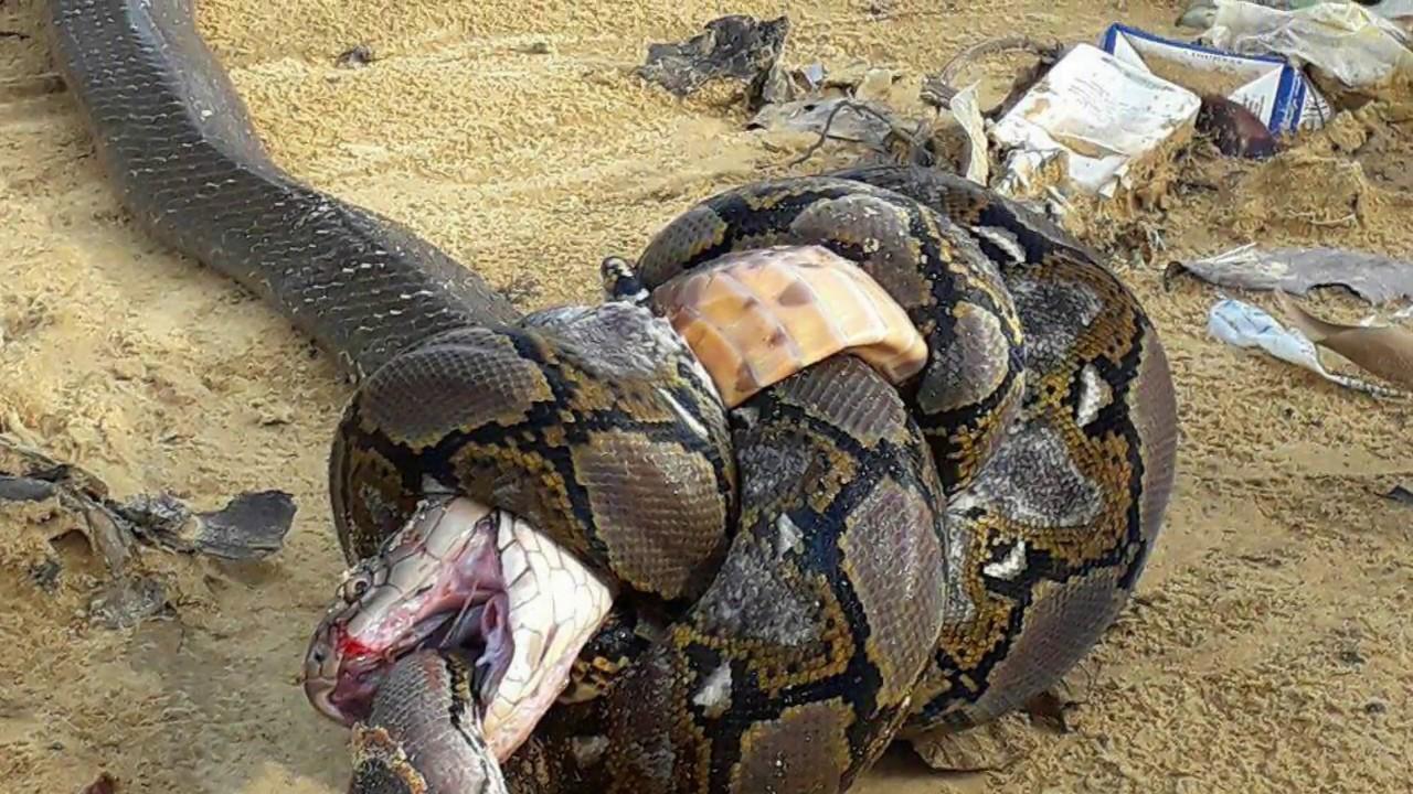 Python Die