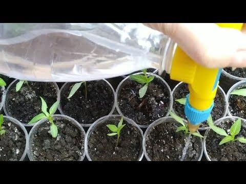 Огород на подоконнике. Как поливать рассаду - супер способ делать это быстро и эффективно   правильный   правильно   поливать   поливаем   рассада   лайфхак   способ   огород   супер   полив