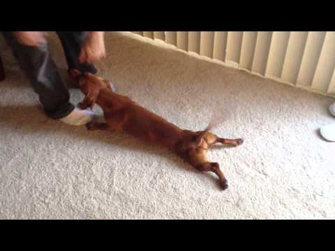 Drama The Dog Drags His Legs