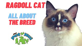 All About the Breed: Ragdoll Cat