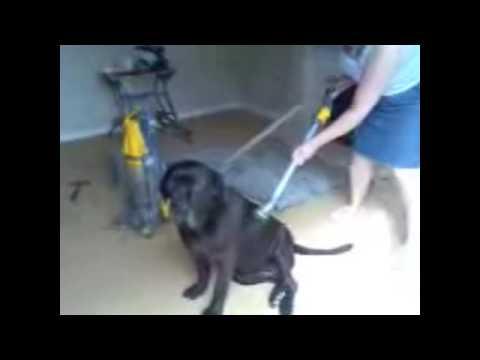 Neapolitan Mastiff Dog Grooming