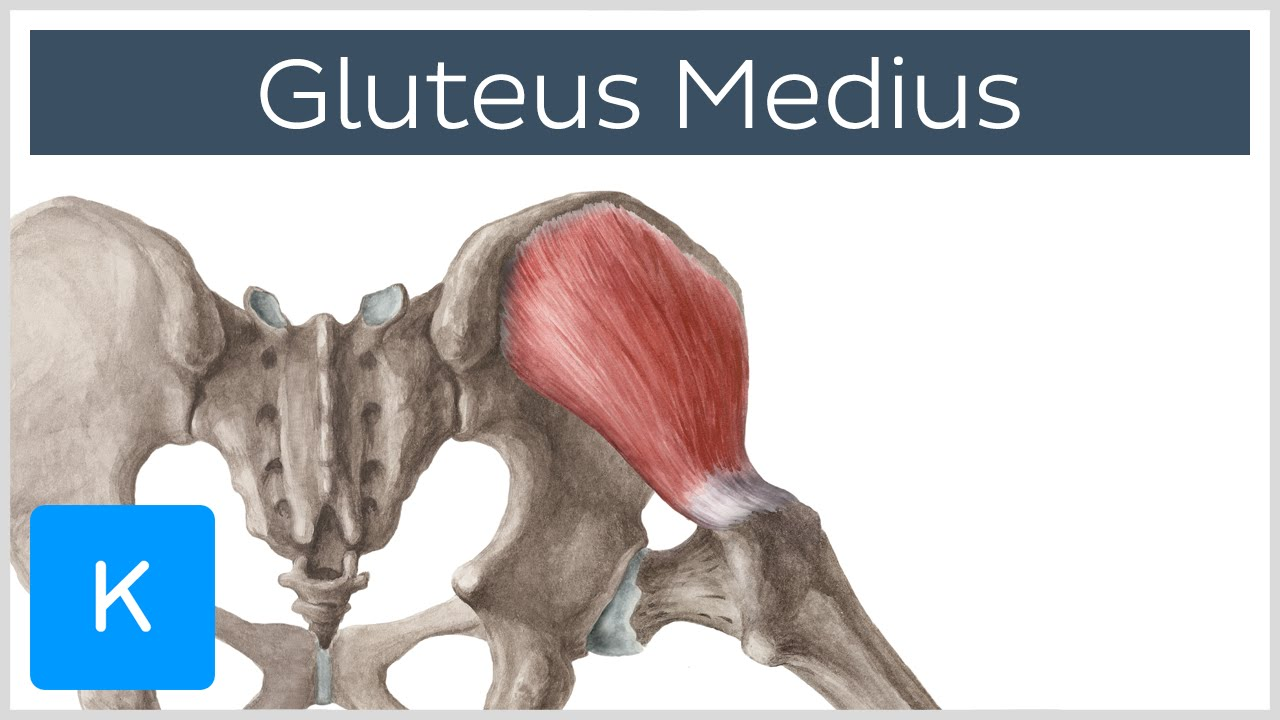 Gluteus Medius Muscle Origin Insertion Innervation Function