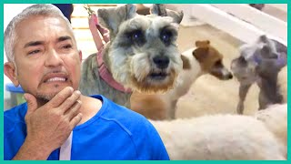 Cesar Saves A Dog From Being Kicked Out of Doggy Daycare | Cesar 911