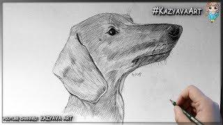 как нарисовать собаку породы Такса карандашом