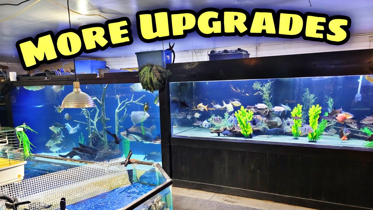 Constantly Upgrading Our Fishroom! New Arrivals to a few Tanks
