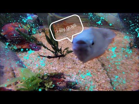INSIDE TROPICAL FISH TANK   Elephant Nose Fish, Glow Tetra, Gourami, Pictus Catfish   Feeding Time