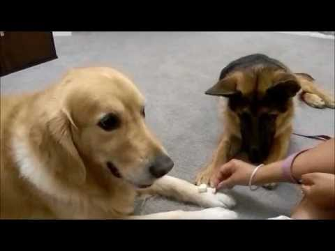 Golden Retriever And German Shepherd Eating Apple Together Youtube