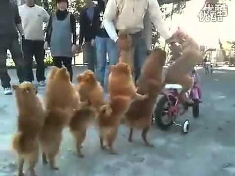 Con chó đi xe đạp điêu luyên ở Trung Quốc