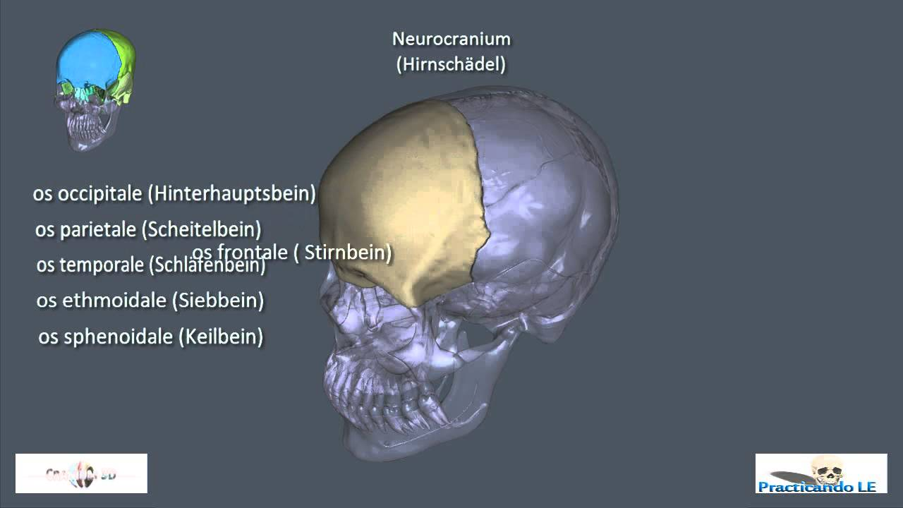 Neuro- und Viscerocranium - YouTube