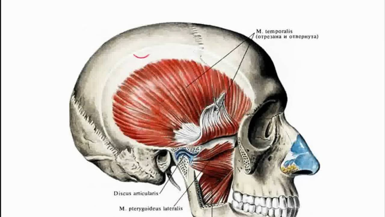 Кровоснабжение и иннервация височно-нижнечелюстного сустава пластика плюсне-фалангового сустава