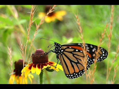 The Incredible Story of the Monarch Butterfly - Four Wings and a Prayer