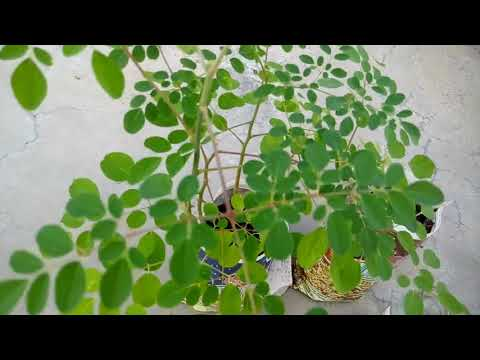 Healing Hydroponics Try Growing These Medicinal Plants