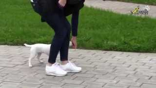 How To Teach Small Breed Dogs A Command Heel