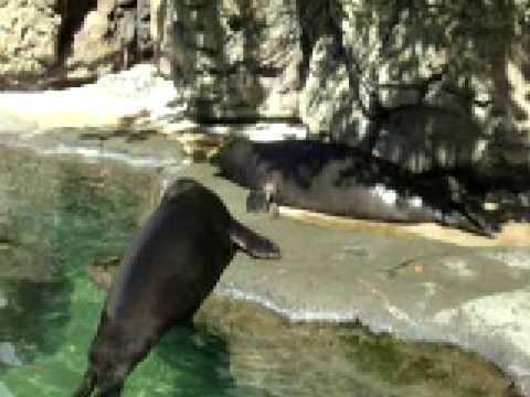 hawaiian monk seals calling for their dinner