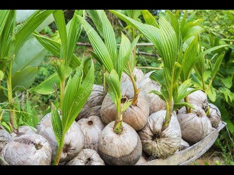 How to Grow Coconut Tree at Home  UrduHindi  Kitchen Gardening