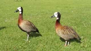 White-faced whistling ducks (Dendrocygna viduata)