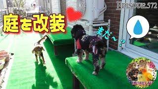 ワンコ(キャバリア犬隊)たちのために、狭く汚い庭をようやく人工芝で...