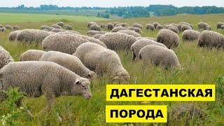 Разведение Дагестанской породы овец как бизнес идея | Овцеводство | Дагестанские овцы
