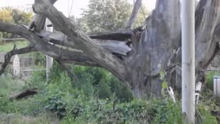 Запорожский дуб 2014(Запорожский дуб 2014 На видео Вы увидите как выглядит знаменитый 700 - летний Запорожский дуб. Дуб - это один..., 2014-06-15T13:23:17.000Z)