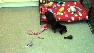 Little Rascals Uk Breeders New Litter Of Pedigree Dachshund