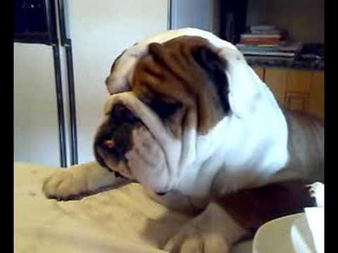 Bellissimo bulldog inglese cesare youtube for Bellissimo in inglese
