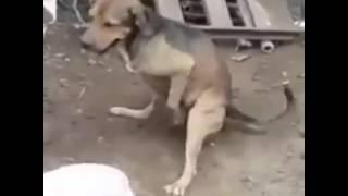31 çeken köpek