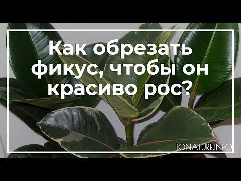 Как обрезать фикус, чтобы он красиво рос? | toNature.Info