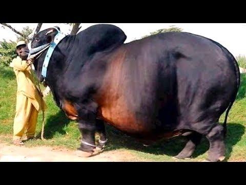 Вопрос: У какого животного самые толстые рога, почему Что известно?