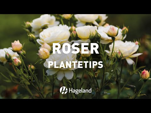 Video om hvordan du planter roser
