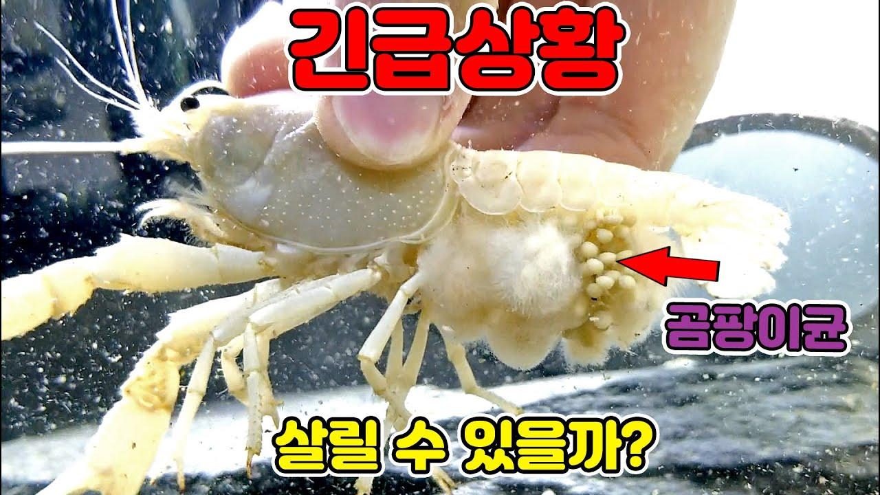 [긴급상황] 곰팡이균에 습격당한 가재 알....구할 수 있을까요?