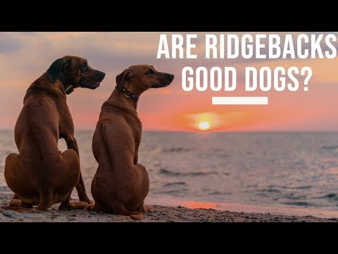 Are Rhodesian Ridgebacks Good Dogs?