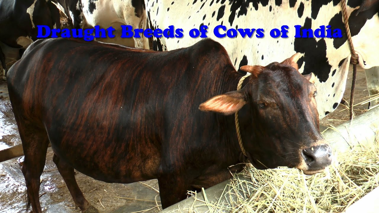 Draught Breeds Of Cows Of India