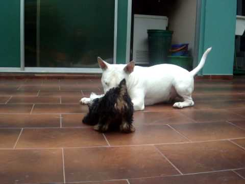 Bull Terrier vs Yorkshire terrier mini