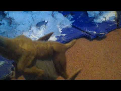 Review 59: CollectA Quetzalcoatlus With Baby Alamosaurus 2014