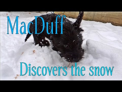MacDuff the Scottish Terrier discovers snow