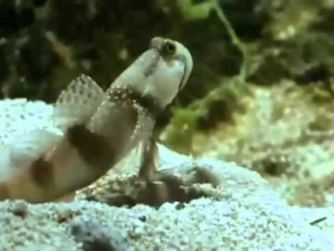 Fish • Watchman Goby & Pistol Shrimp •David Attenborough