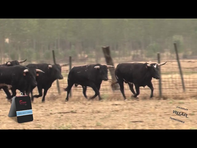 Toros de Pilar Población para la feria de Guijuelo 2017