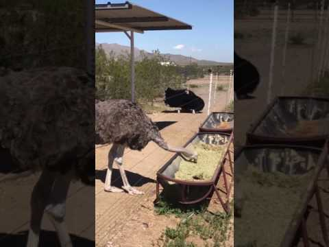 Male ostrich does mating dance for unimpressed female ostrich