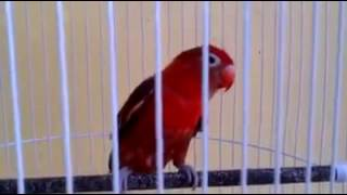 Wowwww!!!! Love bird warna merah unik