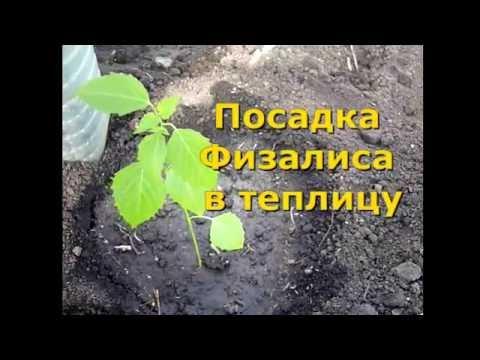 Виды, сорта и выращивание физалиса —