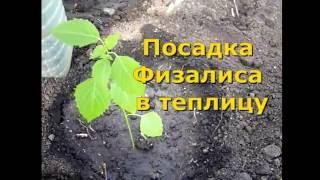 ФИЗАЛИС - посадка и уход. выращивание физалиса в теплице. Как правильно сажать физалис.
