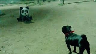 パンダと戦うパグ おもしろショートムービーVoi2 パグのペプシ thumbnail