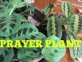 ROOTING PRAYER PLANT AND REPOTTING