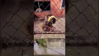 goofy monkey has a sparta remix